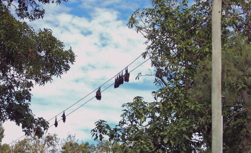 Bats on power lines