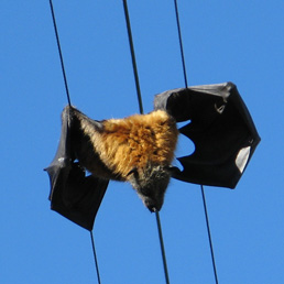 Flying-fox on power lines