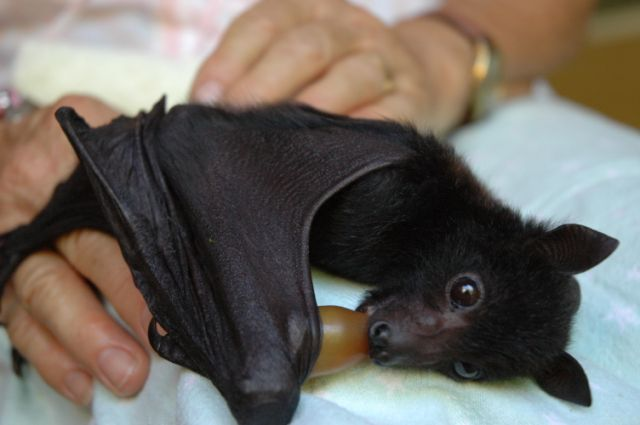 Orphaned flying-fox